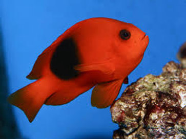 Clownfish Red Sadle (Md)