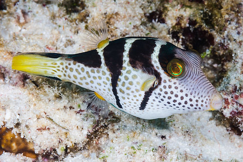 Toby Valentini Puffer (Md)