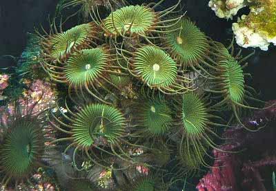 Palythoa Green Button