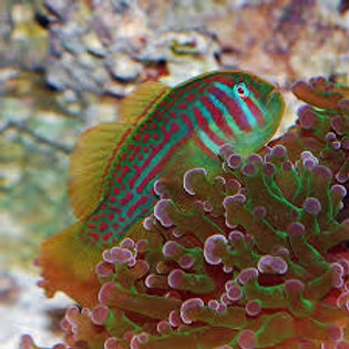 Clown Green Goby  (Smd)