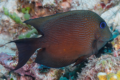 Bristletooth Two Spot Tang (Smd)