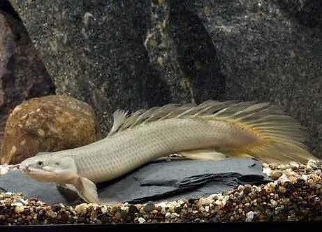 Polypterus Senegalus (9-10cm)