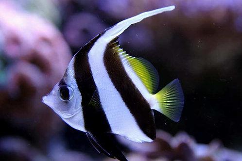 Heniochus Black And White