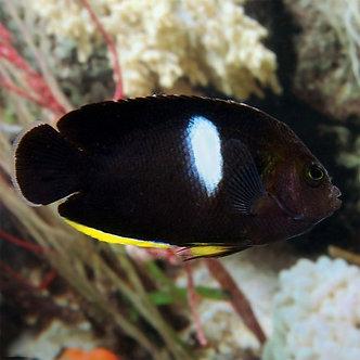 Melas Angelfish