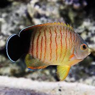 Centropyge Eibli Angelfish