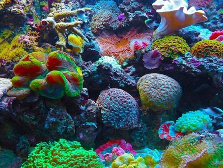 Alimentação de corais em aquários marinhos.