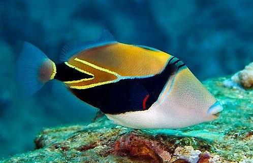 Triggerfishes Picaso Retangle