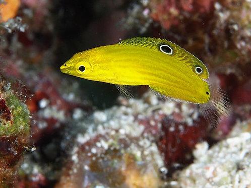 Yellow Coris Wrasse (P)