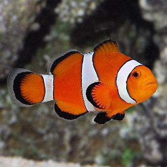 Ocellaris Clownfish (Smd)