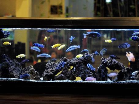 O aquário de Mbunas (Jacinto Salgueiro)