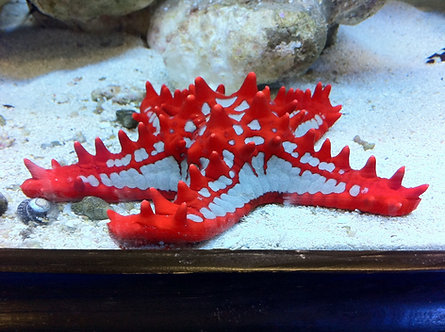 Estrela do Mar (Protoreaster lincki) - General Red