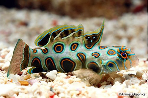 Mandarin Spotted Goby