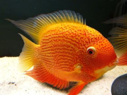 Acara Severum Red Spotted