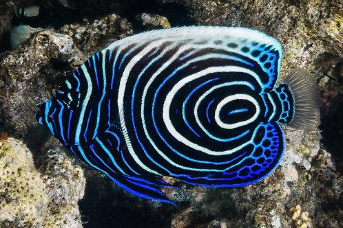 Imperator Angelfish (Juvenil)