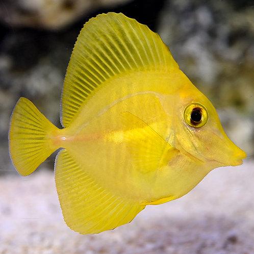 Yellow Tang (Smd)