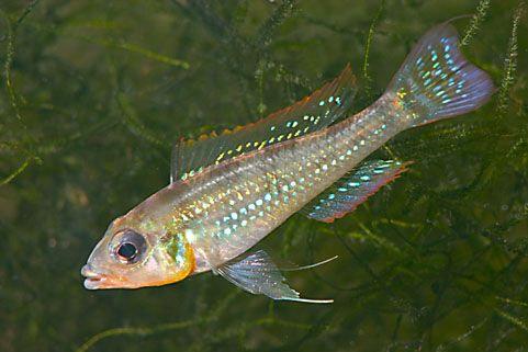 Biotecus Opercularis