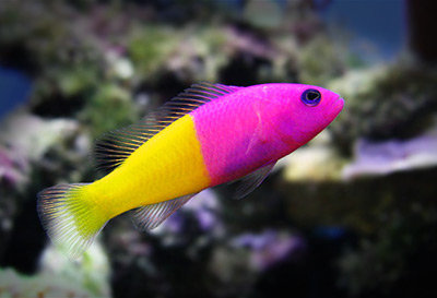 Pseudochromis Bicolor (Royal Dottyback)
