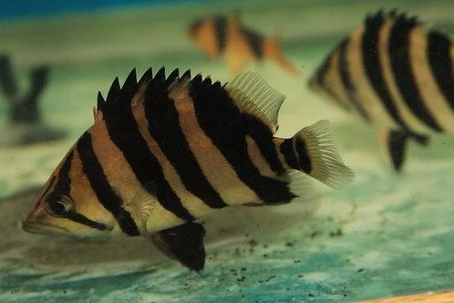 Siamese Tiger Fish – 4-5cm – Datnoid