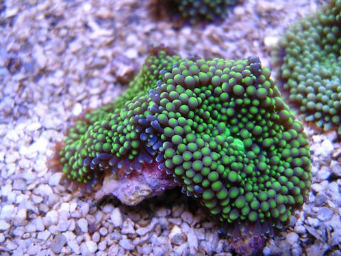 Mushoom Ricordea Green