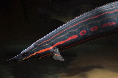Moreia Fire Eel (19-20cm)