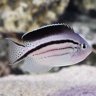 Lamark Angelfish