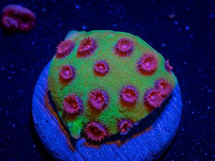 Cyphastrea Alien Pox