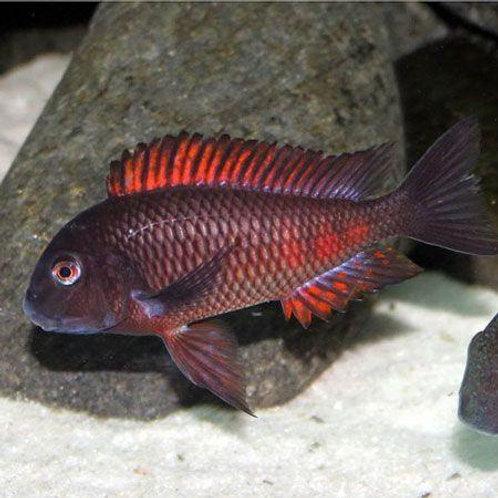 Tropheus  Red Moliro