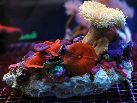 Corais para iniciantes
