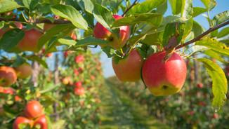 Hendersonville Apples