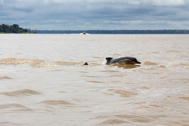 Dolphin in the Colombian Amazon © Kathar