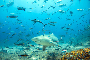 Shark dive at Barefoot Kuata © Katharina