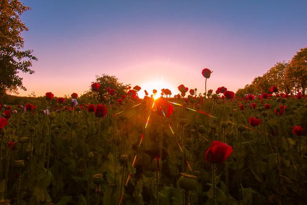 Poppy field © Katharina Sunk