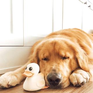 Golden retriever sleeping with a white kawan duck toy