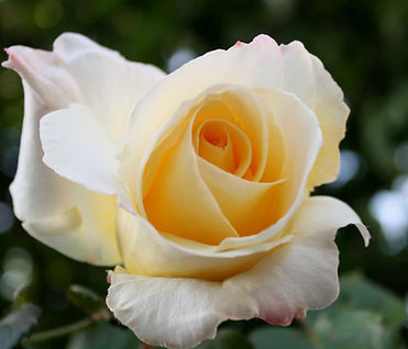 Yellow-White Rose.jpg