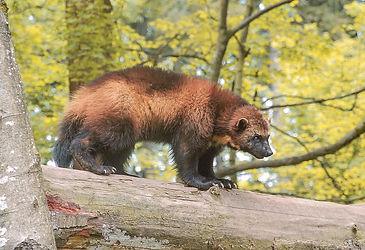 Wolverine_01,largest land-dwellingweasel