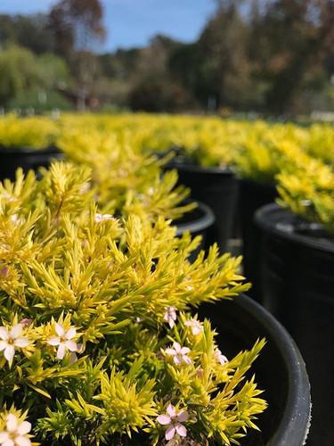 Coleonema pulchrum 'Sunset Gold'