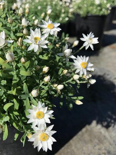 Helipterum 'Paper Star'