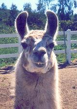 We Pet Sit Llamas and Alpacas too!