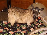 We Pet Sit Goats!