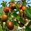 Thumbnail: Miel de azufaifa marroquí 100% pura.