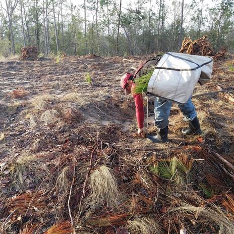 DEP Torreya Tree Planting.jpg