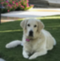 Goldendoodles San Francisco area, puppies, Goldendoodle puppies california,golden doodles