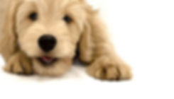 Golden doodles,  Goldendoodles San Francisco area,  Goldendoodle puppies california, f1 f1b golden doodles, central valley, goldendoodle breeders in california , goldendoodles bay area, goldendoodles sacramento, reputable breeder in california