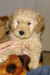 apricot miniature goldendoodle, snuggle puppies, english goldendoodle puppies, goldendoodle puppies san francisco area, crate trained puppies, family friendly dog, hypo-allergenic dogs, female goldendoodle puppies california,