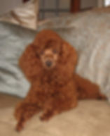 red goldendoodle puppies, red goldendoodles, apricot goldendoodles, miniature poodle, red miniature poodle, f1 goldendoodles, f1b goldendoodles, multigenerational goldendoodles, non-shedding goldendoodles