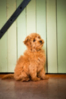 Goldendoodles San Francisco area, puppies, Goldendoodle puppies california,golden doodles
