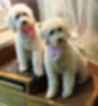 Goldendoodle Puppies San Francisco Breeder, Goldendoodle puppies california, english goldendoodles