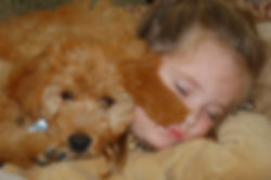 red goldendoodle puppies, apricot goldendoodles, english cream goldendoodles, miniature goldendoodles, medium goldendoodles, f1b goldendoodles, registered goldendoodles, health guarantee goldendoodles, snuggle puppy, snuggle puppies, goldendoodle dog toys,