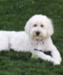 Goldendoodle Puppies San Francisco area, Goldendoodle puppies california,golden doodles