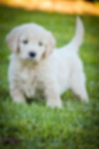 Goldendoodle Puppies San Francisco For Sale, Goldendoodle puppies california, Miniature Goldendoodles